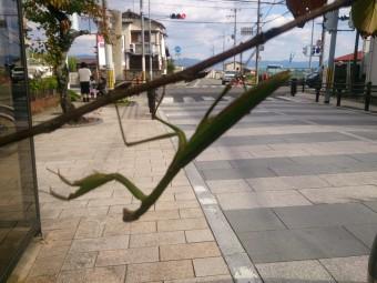 京都 光明寺前蟷螂